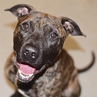 Adopt A Pet :: Davey - Yonkers, NY
