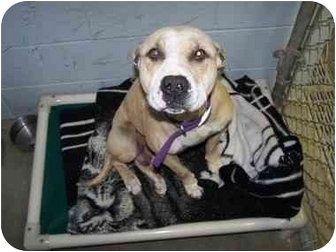 American Staffordshire Terrier Mix Dog for adoption in Shelbyville, Kentucky - Tara