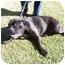 Photo 2 - Bullmastiff Dog for adoption in Phoenix, Arizona - Lily