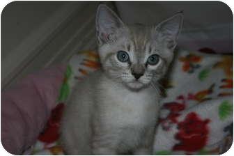 Siamese Kitten for adoption in Irvine, California - Bindi