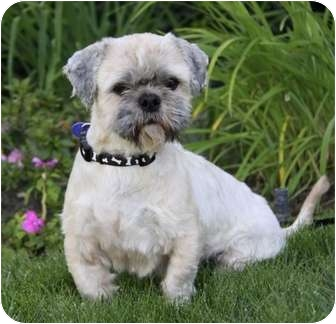 Shih Tzu/Lhasa Apso Mix Dog for adoption in Newport Beach, California - WALRUS