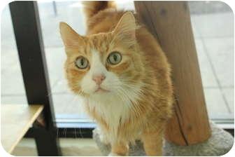 Domestic Longhair Cat for adoption in Portland, Oregon - Butterfinger