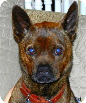 Boston Terrier/Chihuahua Mix Dog for adoption in North Augusta, South Carolina - ZORRO