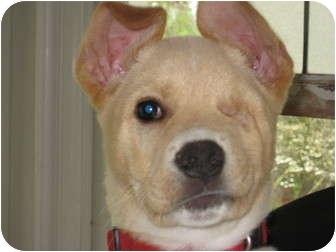 Terrier (Unknown Type, Medium)/Shepherd (Unknown Type) Mix Puppy for adoption in Pinehurst, North Carolina - Cassius
