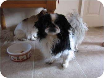 Pekingese Mix Dog for adoption in Encino, California - Ethel