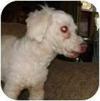 Miniature Poodle Dog for adoption in Melbourne, Florida - TRAPPER