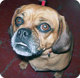 Pug/Beagle Mix Dog for adoption in Marseilles, Illinois - Ladybug