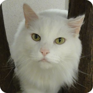 Domestic Longhair Cat for adoption in Naperville, Illinois - Fizzy
