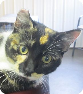 Calico Kitten for adoption in Marseilles, Illinois - Chrissy