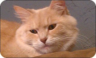 Domestic Mediumhair Cat for adoption in Colville, Washington - Prudence