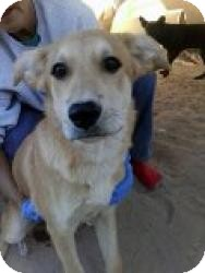 German Shepherd Dog Mix Puppy for adoption in Las Vegas, Nevada - R's Rain