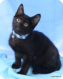 Domestic Shorthair Kitten for adoption in Las Vegas, Nevada - Biscuit