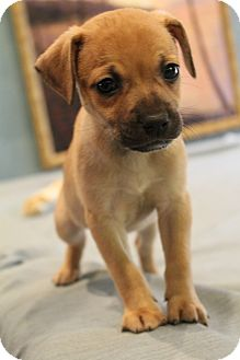 Pug/Chihuahua Mix Puppy for adoption in Greenville, Virginia - Pedro