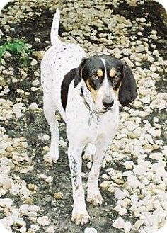 Treeing Walker Coonhound Dog for adoption in Schererville, Indiana - Chloe