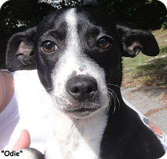 Jack Russell Terrier Mix Puppy for adoption in Key Largo, Florida - Odie