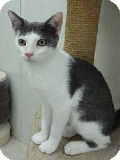 Domestic Shorthair Cat for adoption in Stuart, Virginia - Bernie