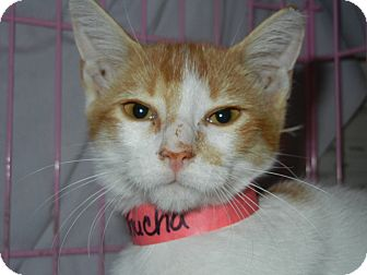 Domestic Shorthair Kitten for adoption in Miami, Florida - Chucha