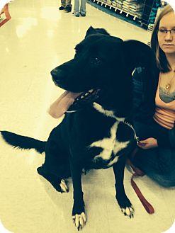 Labrador Retriever/Border Collie Mix Dog for adoption in Ogden, Utah - Buttercup