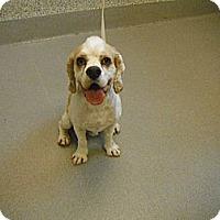 Adopt A Pet :: Sherlock - Ottawa, ON