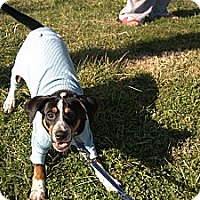 Adopt A Pet :: LIL SPOT - Bluff city, TN
