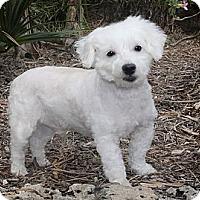 Adopt A Pet :: Buddy - North Palm Beach, FL