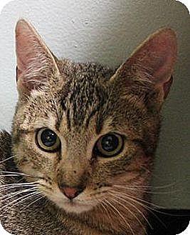 Domestic Shorthair Cat for adoption in Morgan Hill, California - Fauvi