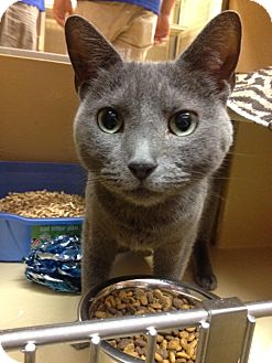 Russian Blue Cat for adoption in Long Beach, New York - Tiffany