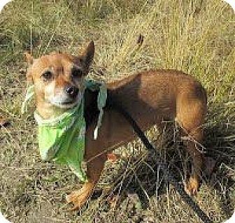 Chihuahua Mix Dog for adoption in Darlington, South Carolina - Dina