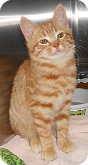 Domestic Shorthair Kitten for adoption in Chambersburg, Pennsylvania - Pumpkin Spice