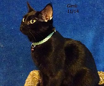 Domestic Shorthair Cat for adoption in Plain City, Ohio - Gimli
