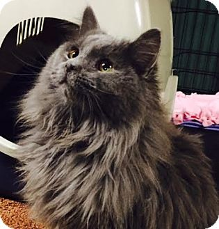 Domestic Longhair Kitten for adoption in Ortonville, Michigan - Mo