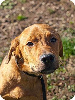 Labrador Retriever/Hound (Unknown Type) Mix Puppy for adoption in Farmington, Michigan - Rio