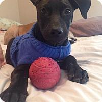 Adopt A Pet :: Dom - Morgantown, WV