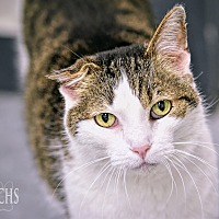 Domestic Shorthair Cat for adoption in Martinsville, Indiana - Farley
