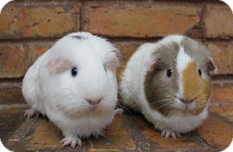 Guinea Pig for adoption in Benbrook, Texas - Chloe & Henriatta