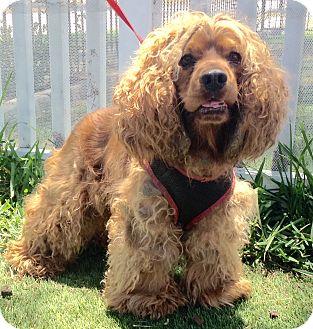 Cocker Spaniel Mix Dog for adoption in Santa Ana, California - Coco (A)