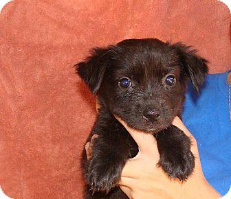 Australian Shepherd/Golden Retriever Mix Puppy for adoption in Oviedo, Florida - Alina
