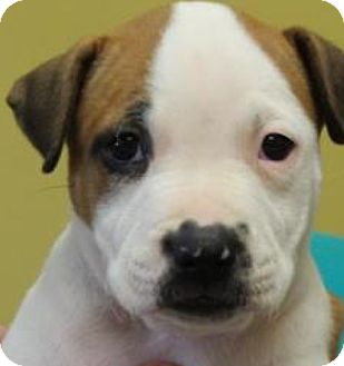 Pit Bull Terrier Mix Puppy for adoption in Pompton Lakes, New Jersey - mimi