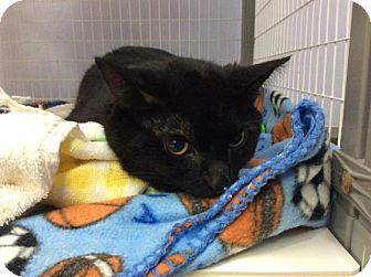 Domestic Shorthair Cat for adoption in Janesville, Wisconsin - Mojo