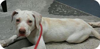 Labrador Retriever Mix Dog for adoption in Evergreen, Colorado - Alvarez