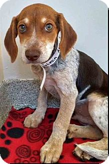 Hound (Unknown Type) Mix Puppy for adoption in Gahanna, Ohio - ADOPTED!!!   Taliesin