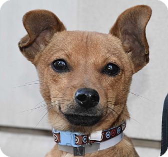 Chihuahua/Dachshund Mix Puppy for adoption in New York, New York - Roar
