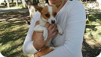 Corgi/Papillon Mix Puppy for adoption in Boerne, Texas - Anais