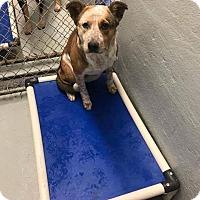 Adopt A Pet :: Ashe - Valley Stream, NY