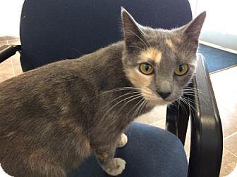 Domestic Shorthair Cat for adoption in Cumming, Georgia - Beyonce`