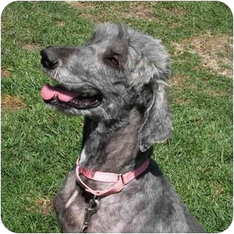 Poodle (Standard)/Labrador Retriever Mix Dog for adoption in San Clemente, California - SARAH