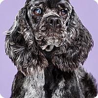 Adopt A Pet :: Violet - Owensboro, KY