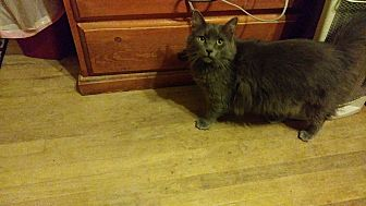 Domestic Longhair Cat for adoption in Palm Springs, California - Jessie