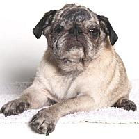 Pug Dog for adoption in Gardena, California - Madeline