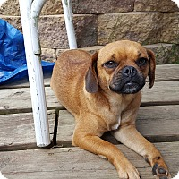 Pug/Beagle Mix Puppy for adoption in Hainesville, Illinois - Gracie